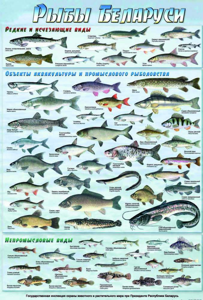 речные рыбы беларуси фото с названиями профессиональный праздник или