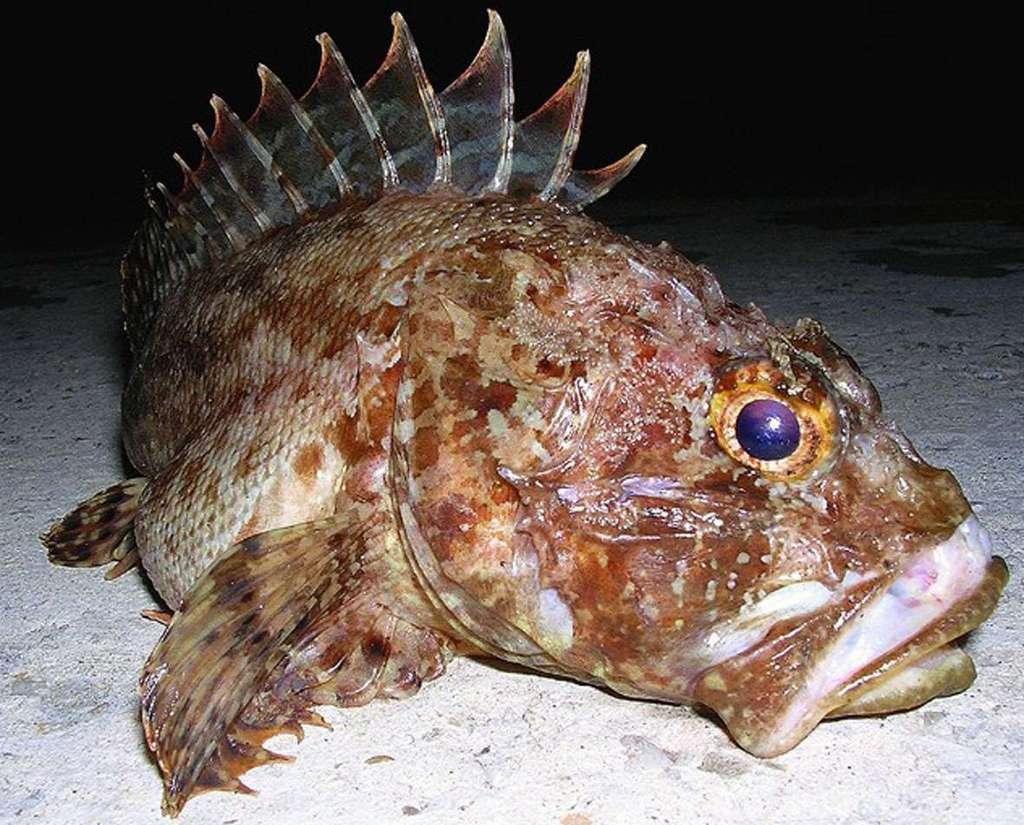 0.jpg - Ядовитые рыбы