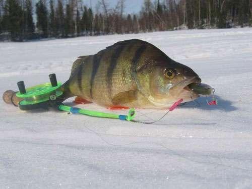 Как зимой ловить окуня на балду